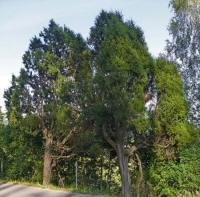 antwerpen juniperus communis